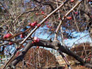 蕾が色をつけ始めた離宮院公園のしだれ梅