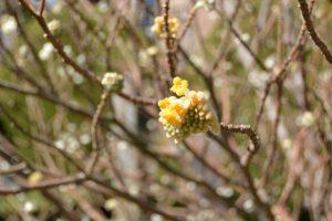 花が咲き始めたミツマタ(大豊和紙工業株式会社)