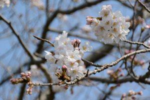 桜が咲き始めた有田神社(伊勢市小俣町湯田)