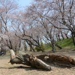 桜は咲き始めた宮川堤