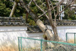 土塀とオヤネザクラ(国史跡旧豊宮崎文庫)