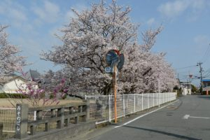 伊勢市御薗B&Gの桜、御薗橋付近