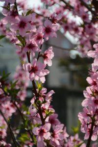 桜三昧の半日(伊勢市御薗町王中島)