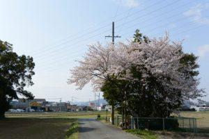 大水神社の桜(伊勢市御薗町長屋)