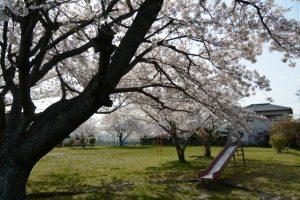 公園の桜(伊勢市御薗町長屋)