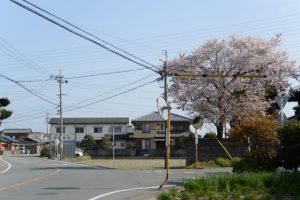 桜(伊勢市御薗町長屋)