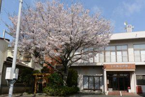 下長屋公民館の桜(伊勢市御薗町長屋)
