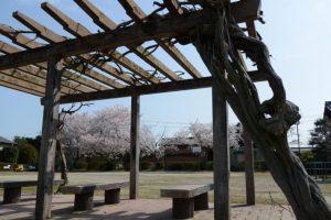 高向公園の桜(伊勢市御薗町高向)