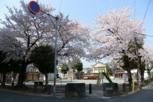 奥新町公園の桜(伊勢市曽祢)