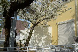 新しくできたアパートの庭に生えるオオシマザクラ