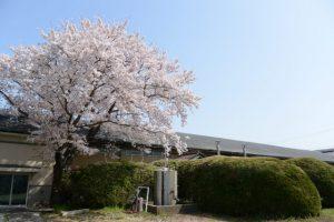 大豐和紙工業株式会社の桜(伊勢市大世古)