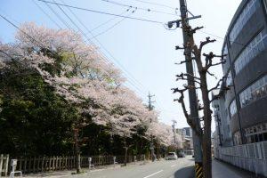 月夜見宮(豊受大神宮 別宮)前の桜並木