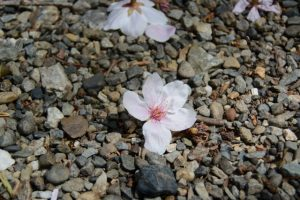 花を落とす箕曲中松原神社の桜(伊勢市岩渕)