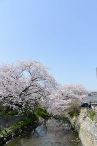 桧尻川の桜(伊勢市船江)