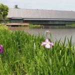 外宮勾玉池の菖蒲園