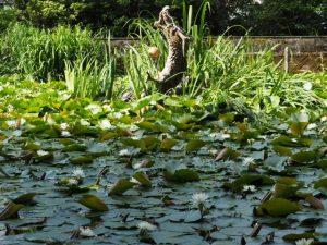 スイレンが咲く朧ヶ池(伊勢市船江)