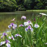 勾玉池の菖蒲園(外宮せんぐう館休憩舎付近)