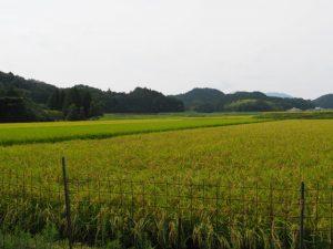 川原神社(皇大神宮 摂社)からの眺め、稲刈りを待つ田んぼ