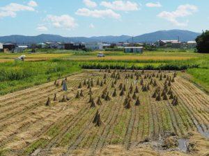 大湊川の堤防道路から眺めた稲刈り後の田んぼ