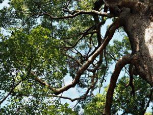 前回の台風から御神木の周囲は立入禁止、箕曲神社(伊勢市小木町)
