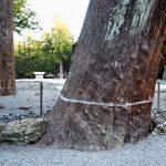 スギの大樹に巻かれた白色のテープ(外宮)