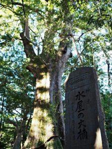 御神木 水屋の大楠、水屋神社(松阪市飯高町赤桶)