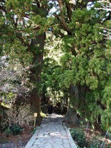 夫婦杉(熊野古道 大門坂)