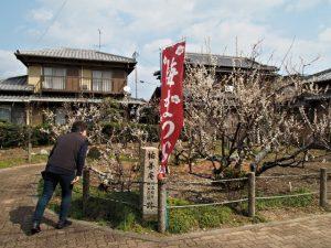 梅の咲く臥竜梅公園(伊勢市御薗町新開)