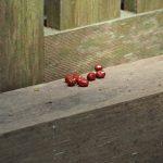 度会大国玉比賣神社(豊受大神宮 摂社)にお供えされていた小豆