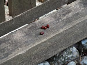 伊我理神社(豊受大神宮 末社)にお供えされていた小豆