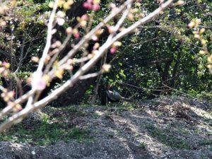旅荘 海の蝶のプライベートビーチ付近で見つけたキジ
