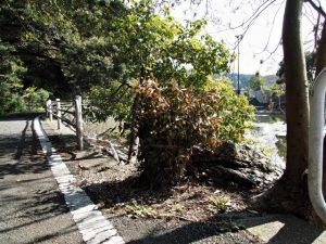 松下社付近の池のほとりにまつられている榊巻(伊勢市二見町松下)