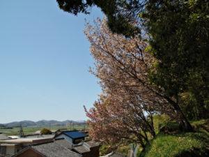 棒原神社(皇大神宮 摂社)の桜たち