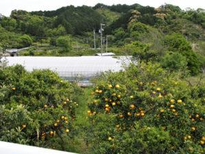 みかん畑(北牟婁郡紀北町古里)