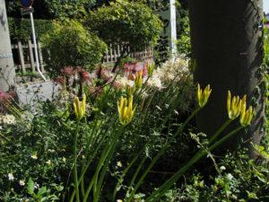 御塩殿神社(皇大神宮 所管社)の前に咲き始めた黄色のヒガンバナ