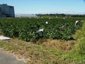 神麻続機殿神社前の畑では枝豆狩り