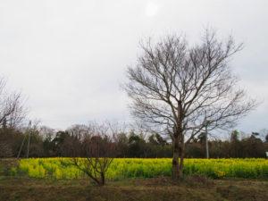 稲木神社付近の菜の花畑(松阪市稲木町)