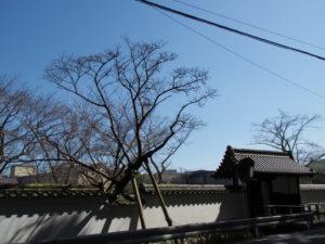 オヤネザクラ(お屋根桜)の蕾が膨らむ旧豊宮崎文庫(伊勢市岡本)