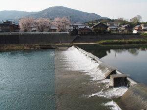 下田井堰とサクラ、五十鈴橋(五十鈴川)の上流側