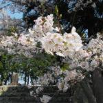 サクラと櫲樟尾神社舊跡(伊勢市楠部町)