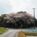 福井文右衛門を偲んで咲くサクラ、神服織機殿神社(皇大神宮 所管社)