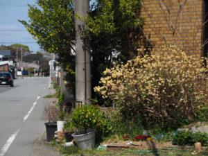 ご近所で見つけたミツマタの花(伊勢市御薗町)