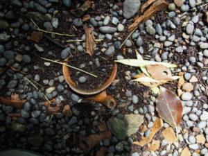 大樹の根元に残されている土器片、伊雜宮(皇大神宮 別宮)