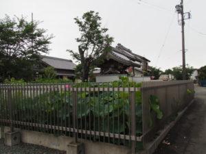 西光寺の大賀ハス(度会郡玉城町田丸)