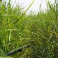 池の浦 松下1号角落しへと続く湿地帯
