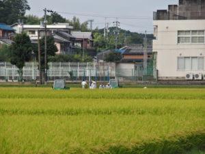 神宮神田での稲刈り(伊勢市楠部町)