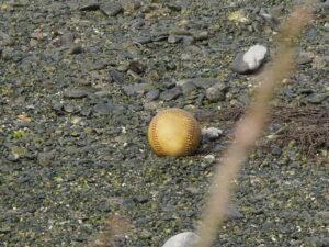 「丸い石、見つけた」と思ったら・・・