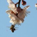 ミツバチが花粉玉を作るほどに咲いた臥龍梅(伊勢市御薗町新開)