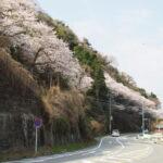 ほぼ満開となった音無山の桜(伊勢市二見町茶屋)
