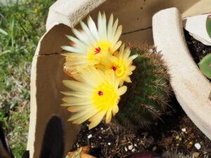 自宅の庭に咲いた サボテンの花